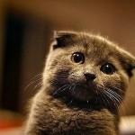 [猫]スコティッシュフォールドの価格や性格、飼い方を教えます